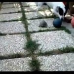 Dog and Turtle Play With Ball