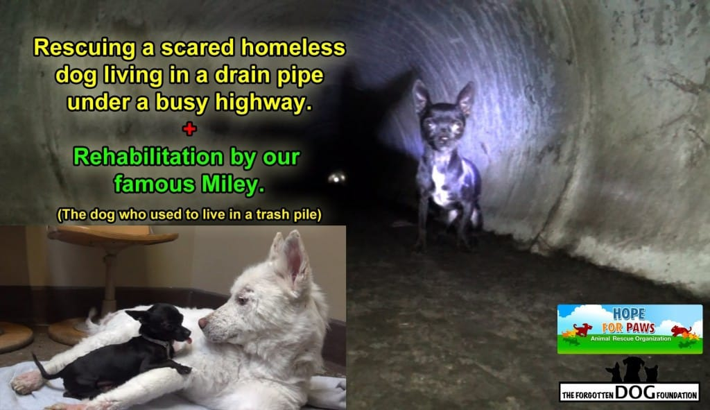 Frankie The Chihuahua Gets Rescued