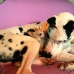 The Love Hate Relationship Between a Great Dane and a Chihuahua