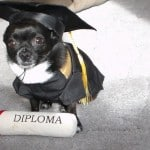 Watch the World's Smartest Chihuahua