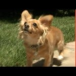 Wonderful Little Chi Thrown Away Because He Is Blind