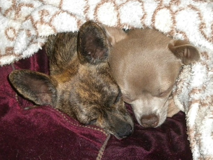 2 sleeping Chihuahuas