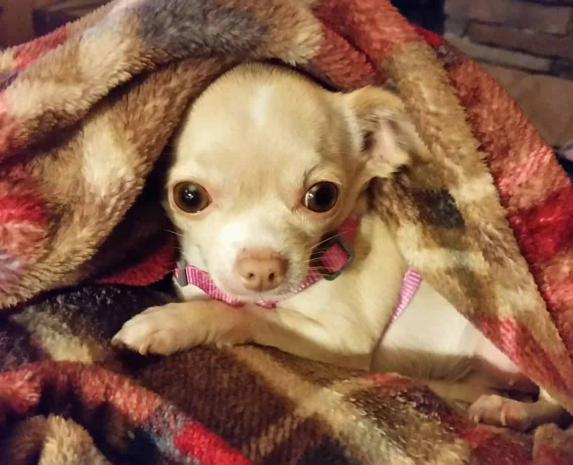 Chihuahua Age | Milestones for the Puppy, Adult and Senior