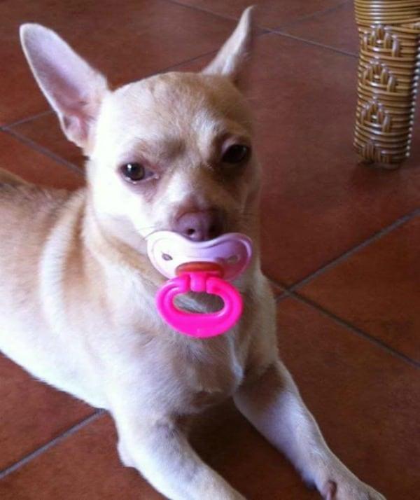 Pinki the Chihuahua