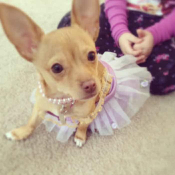 Alicia Bracey's Chihuahua