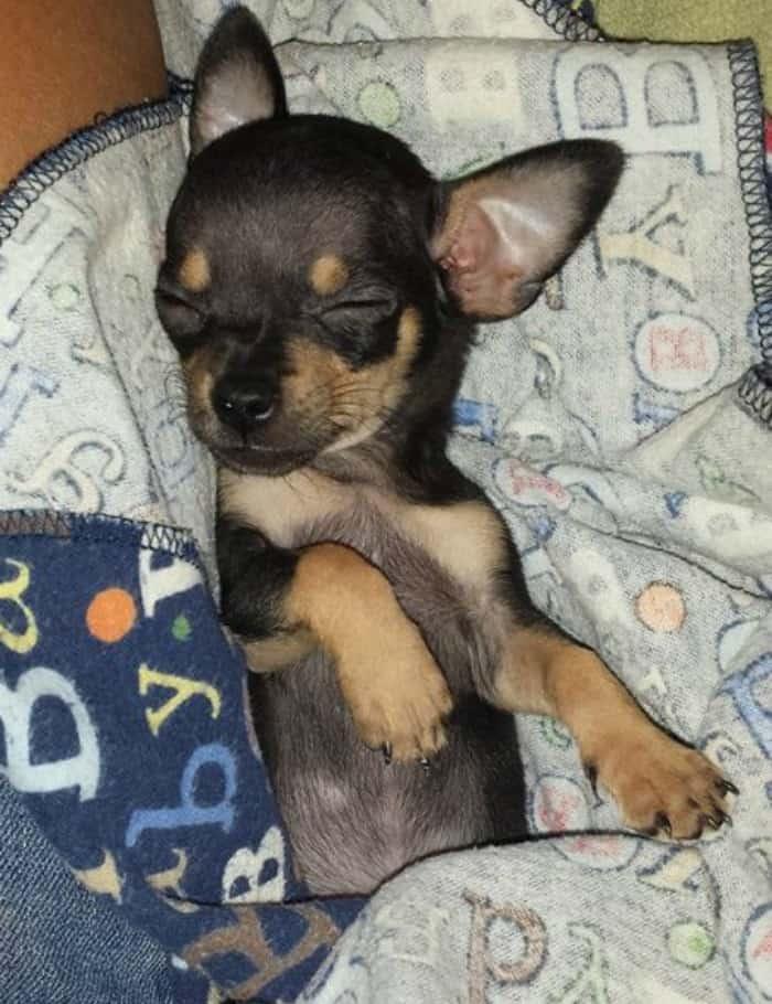 Amber Padilla's Chihuahua