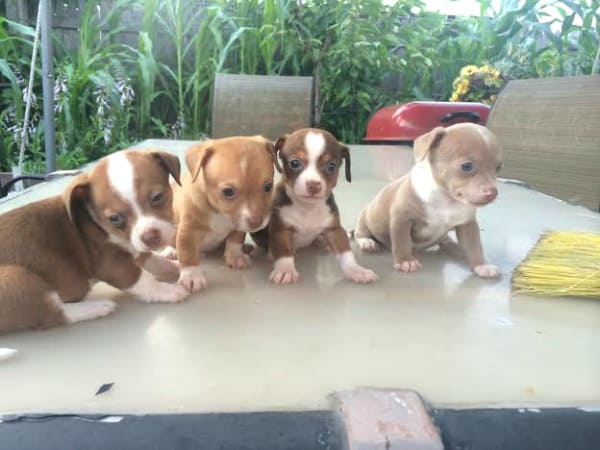 4 Chi puppies