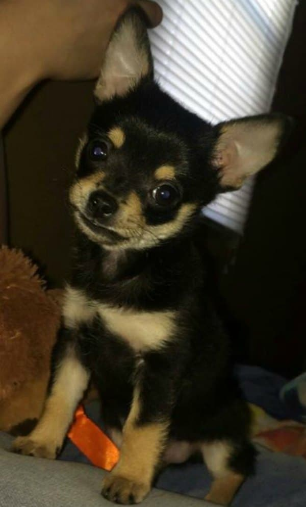 7 week old Benjamin the Chihuahua puppy