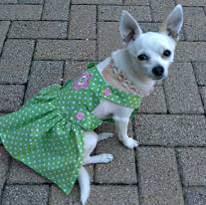 Chihuahua in green dress