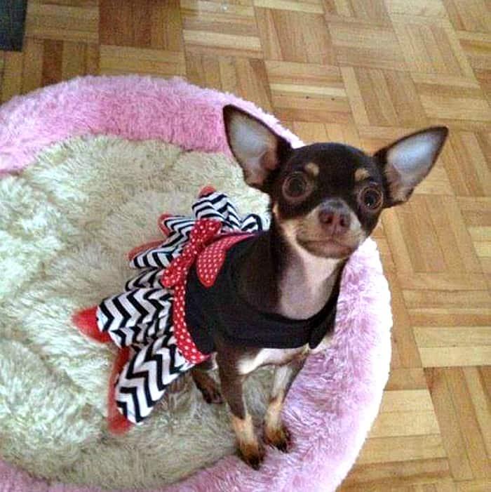 Annie Latulippe's Chihuahua