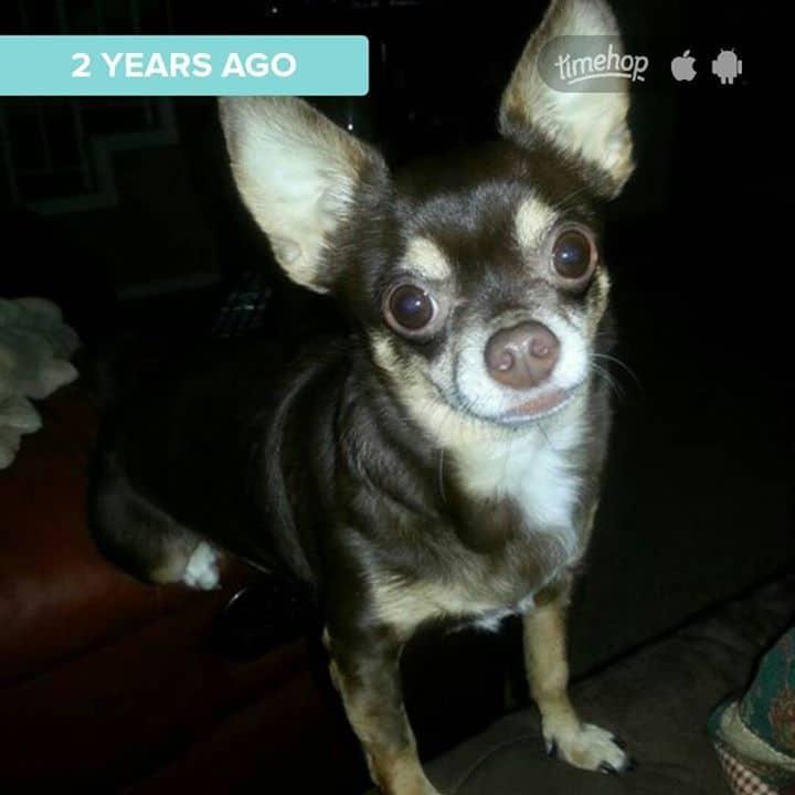 MoMo the Chihuahua