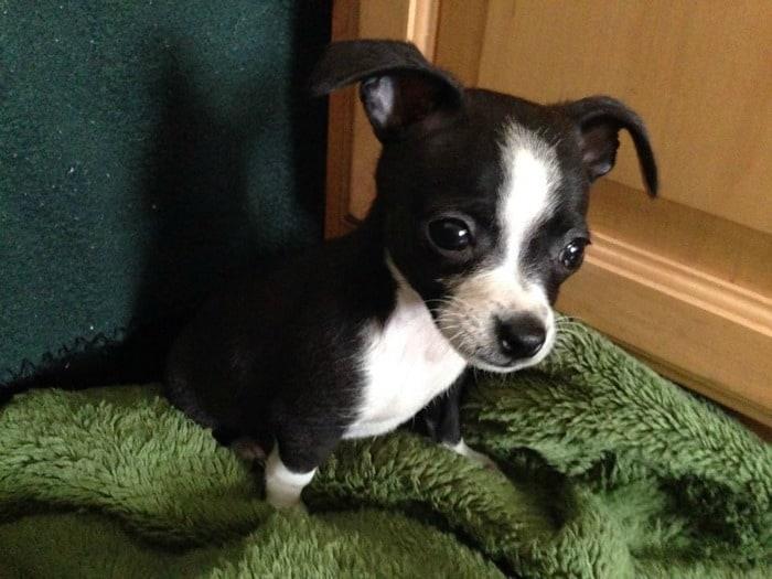 BJ the Chihuahua