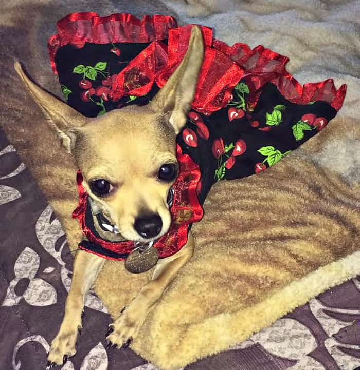 Chihuahua in Cherry dress