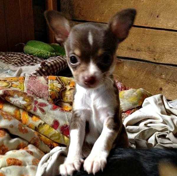 Beebe the Chihuahua puppy