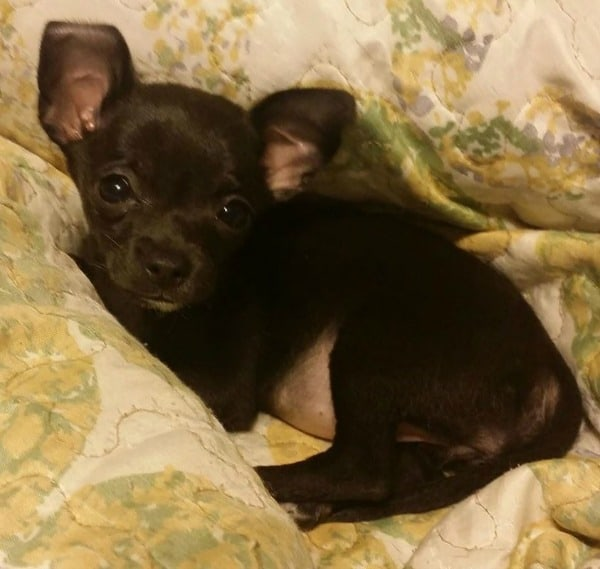 Bella the 9 week old Chihuahua