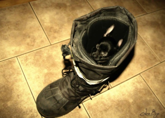 Black Chi in boot