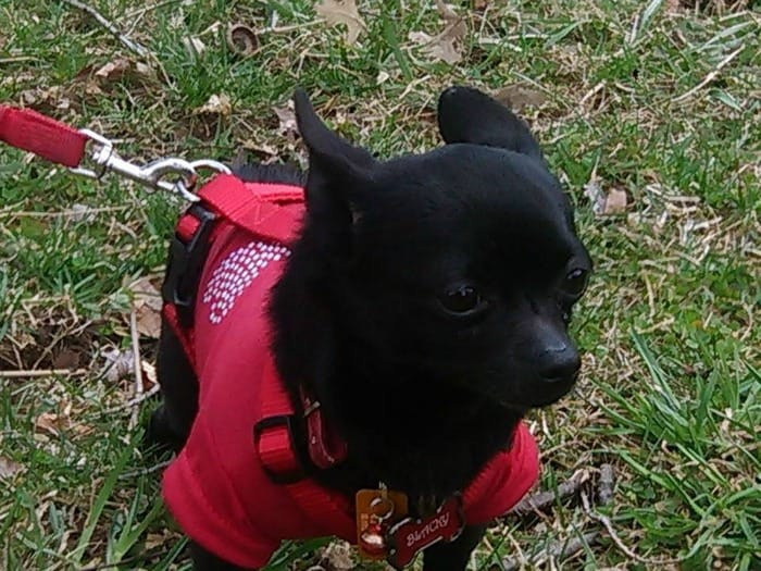 Black the Chihuahua