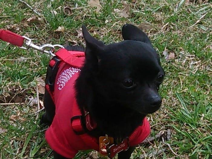 Black the Chihuahua