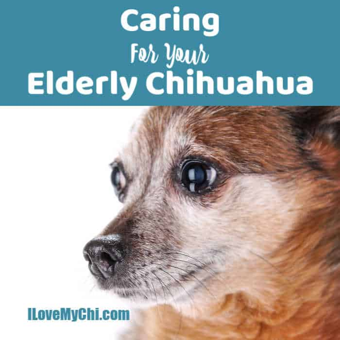 side view of elderly chihuahua