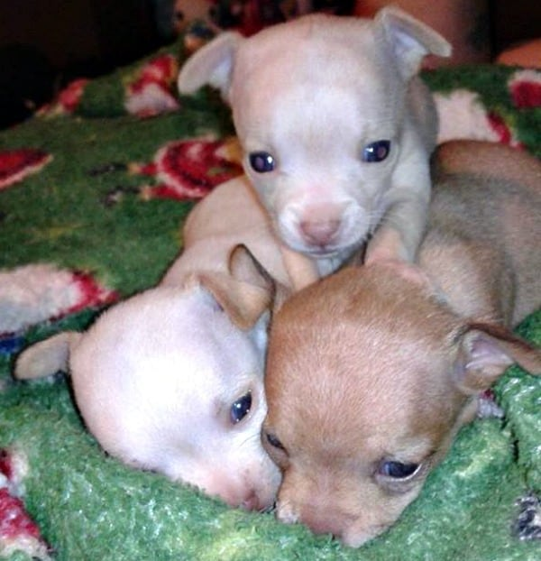 Trio of Chihuahua puppies