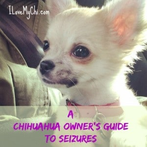 Chihuahua Owners Guide to Seizures