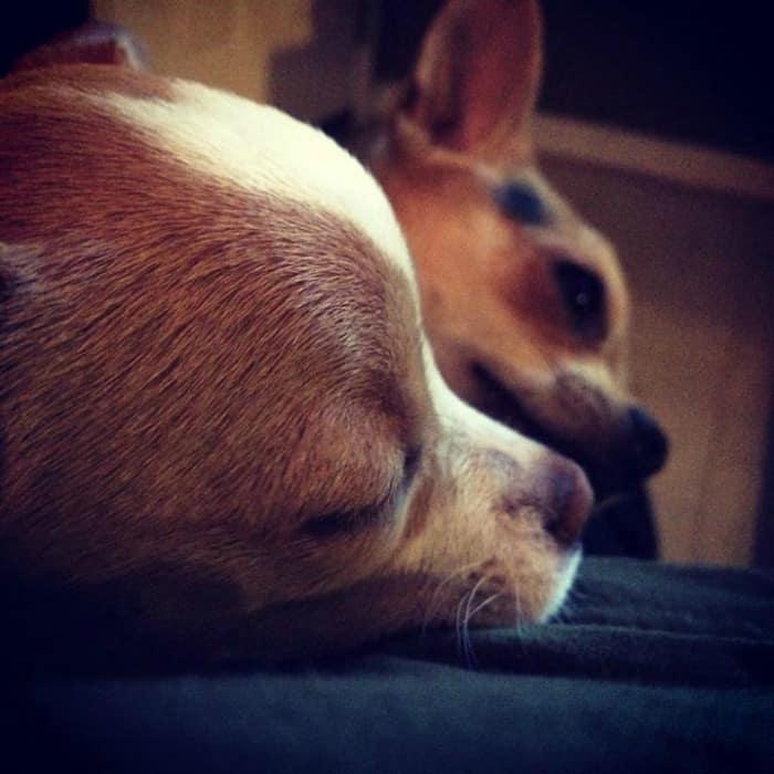 Christine Miller Gonzalez's Chihuahua
