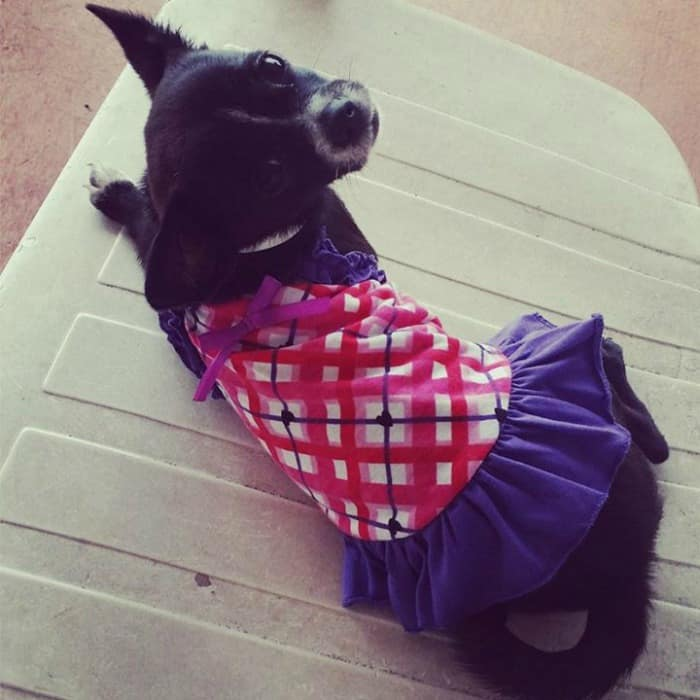Chihuahua in pretty dress