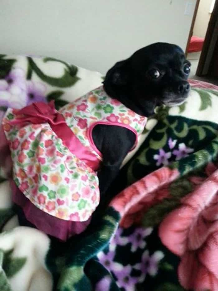 Chihuahua in dress