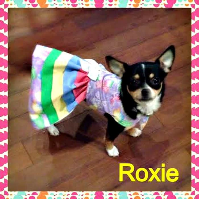 Roxie the Chihuahua