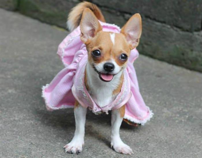 happy Chihuahua