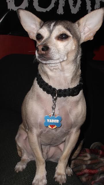 Vader the Chihuahua