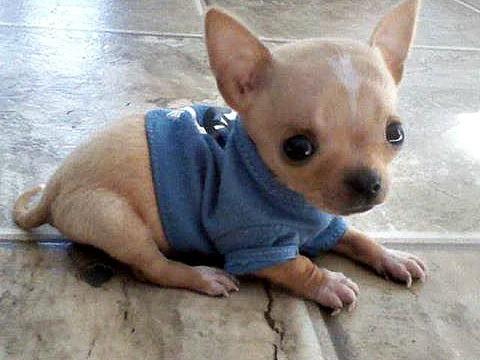 Harley the Chihuahua