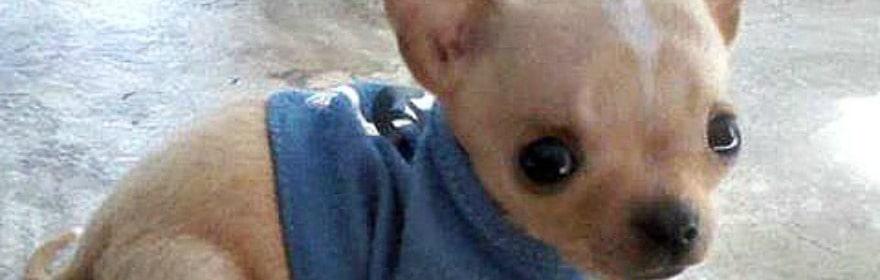 Chihuahuas of the Week for Week ending 4-4-15