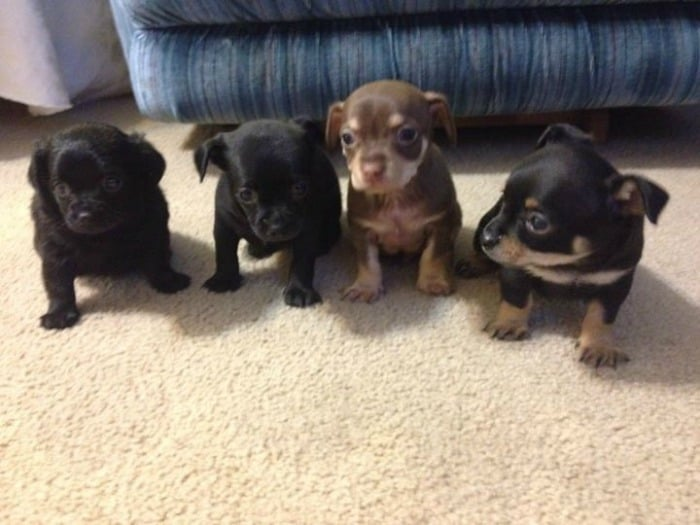 5 week old Chi pups