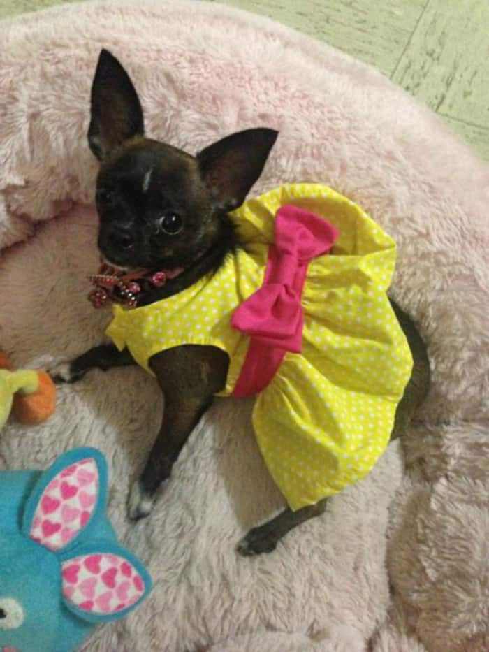 Chihuahua in yellow dress
