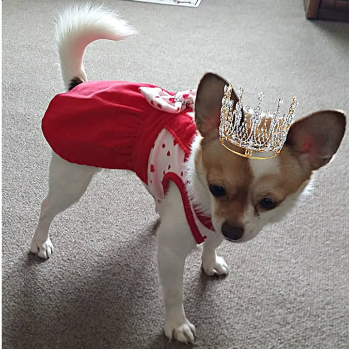 white and tan chihuahua wearing red dress