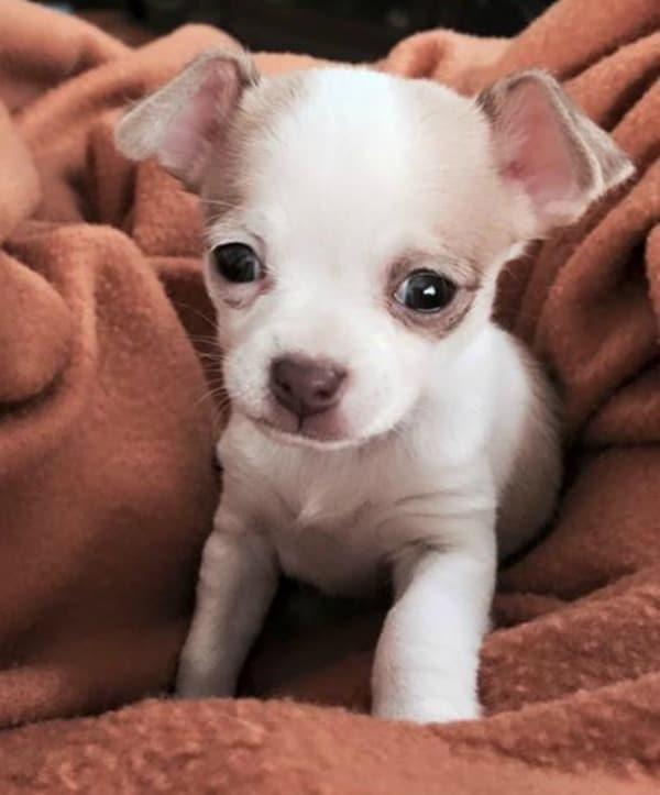 Lola P. Lugo the Chihuahua pup