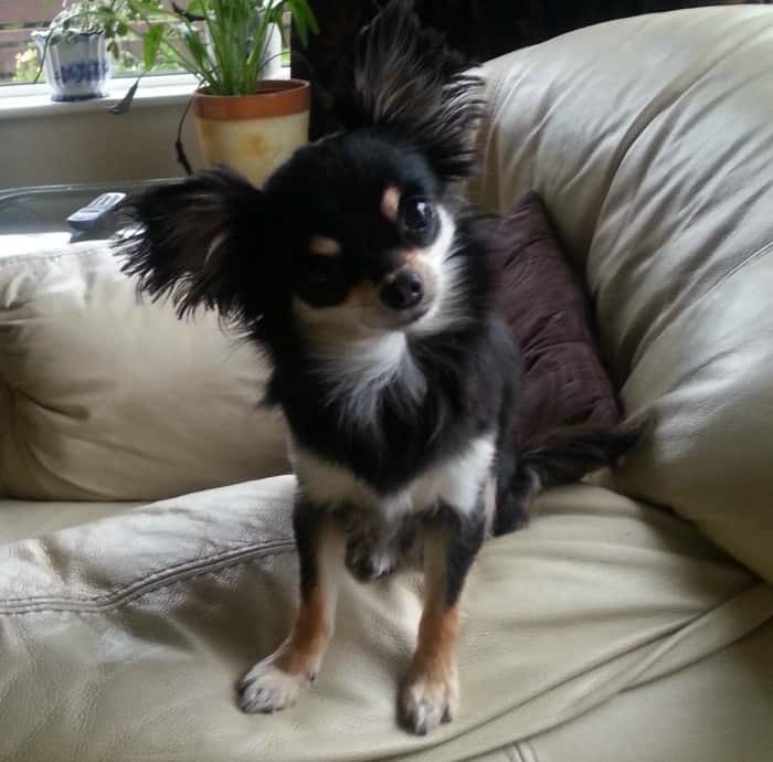 This pretty little Tri-colored Chi belongs to Lorna Nugent.