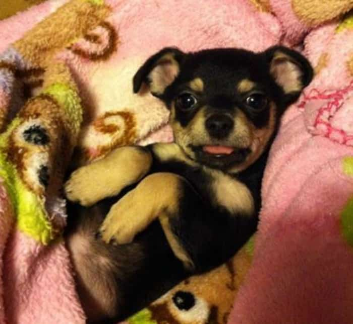 Louie the Chihuahua