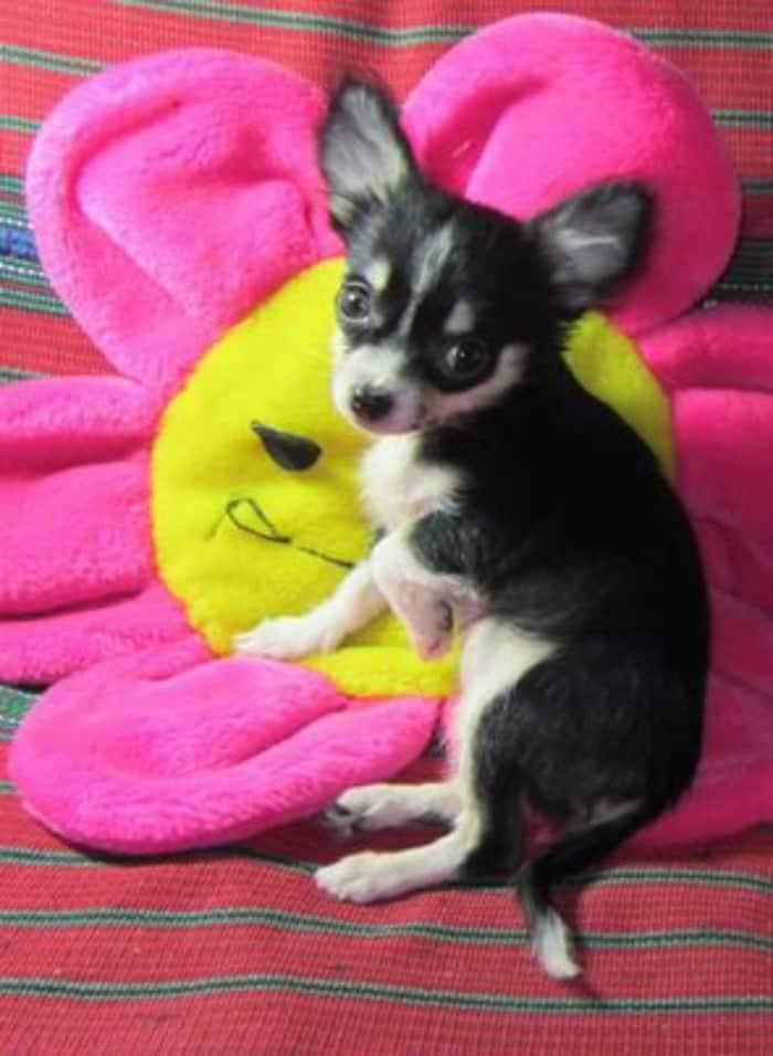 Pandy the Chihuahua
