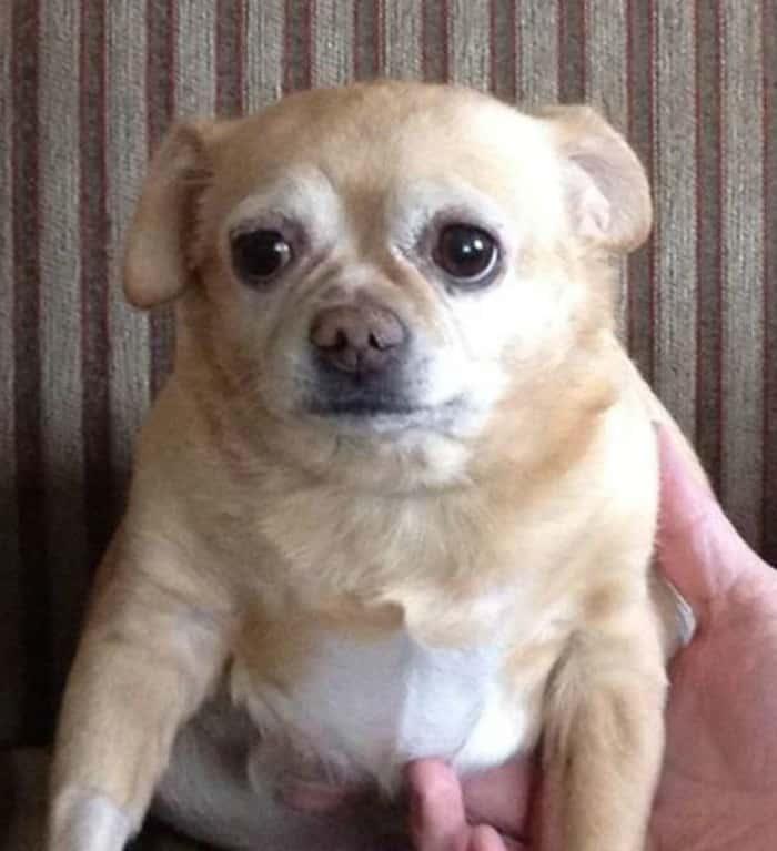 Roxanne the Chihuahua