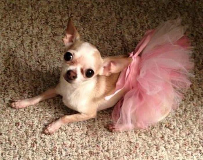 Chihuahua in pink tutu