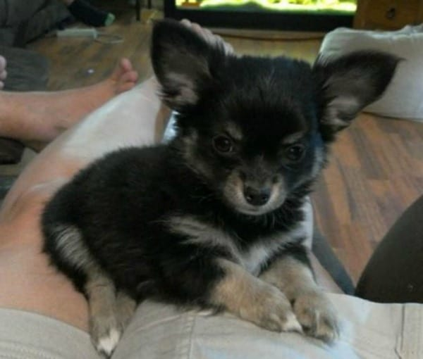 Ruby the Chihuahua puppy