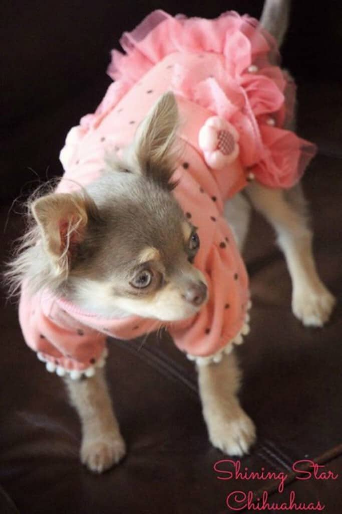 Violet the Chihuahua