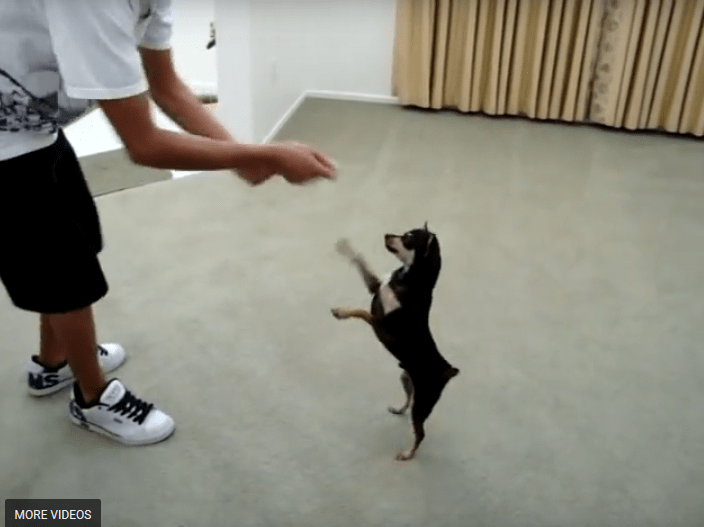 Smart Chi Does Tricks