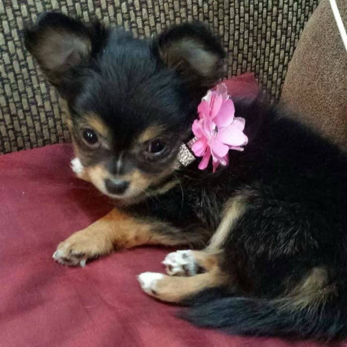 Snickers the Chihuahua