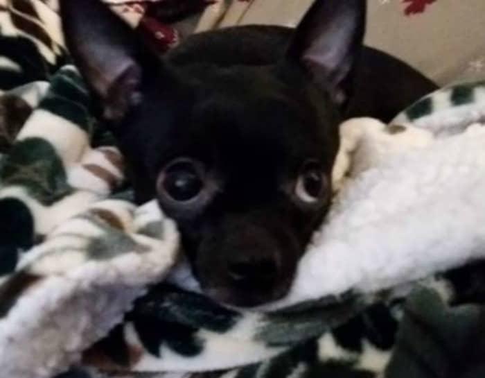 Nevaeh the Chihuahua