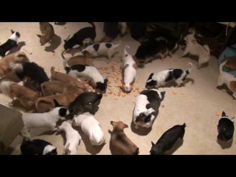 A Chihuahua Herd at Snack Time