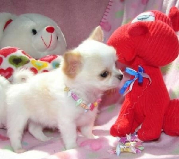 chi pup with toy