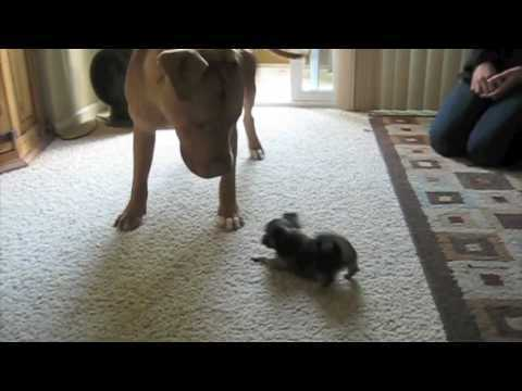 Chi Puppy Takes on Pitbull and a Cat